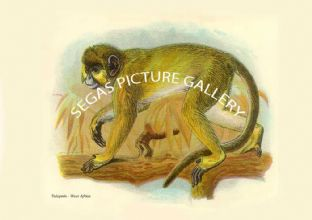 Talapoin - West Africa